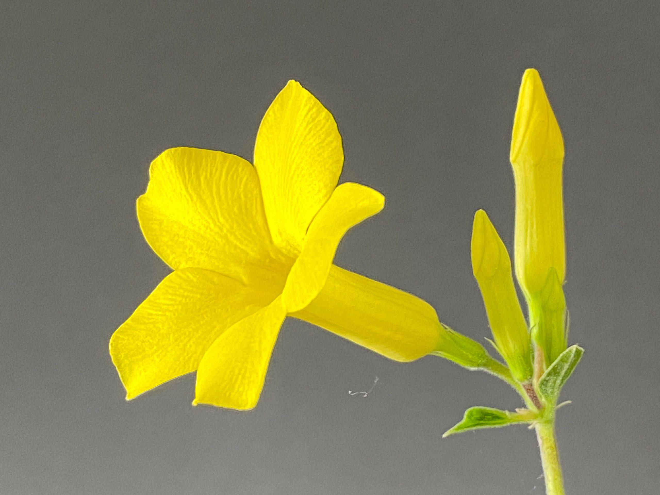 グラキリス花